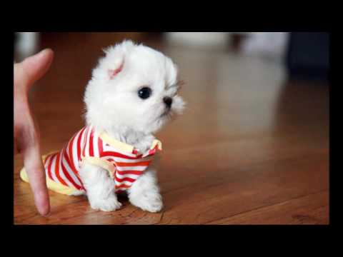 SuperCute Teacup Maltese - DOG LOVERS ❤