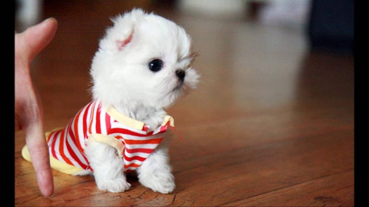 Supercute Teacup Maltese Dog Lovers Youtube