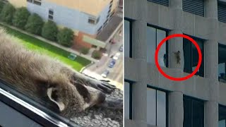 Daredevil Raccoon That Scaled Minnesota Skyscraper is Safe