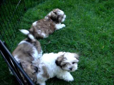 Shih Tzu Puppies For Adoption Toronto On Canada Youtube