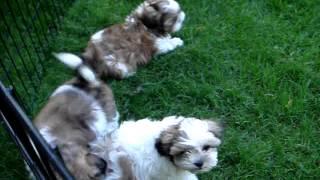 Shih Tzu Puppies For Adoption - Toronto, On, Canada