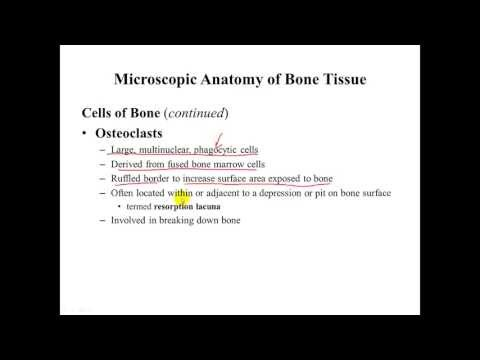 Osseous Tissue Cell Anatomy and Matrix Physiology