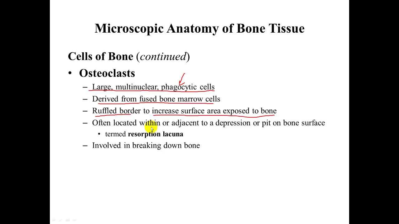Osseous Tissue Cell Anatomy and Matrix Physiology - YouTube