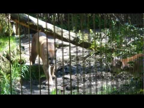 Cougar in heat roaring