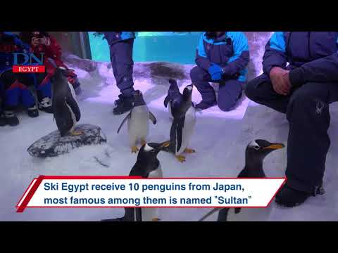 """Ski Egypt receive ten penguins from Japan, most famous among them is named """"Sultan"""""""