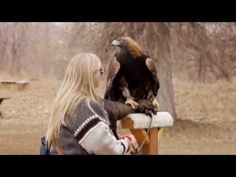 Captive female Golden Eagle being fed.