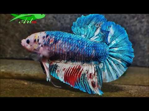 HD super Giant Betta male-female sparring, bubble nest