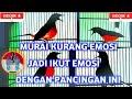 Pancingan Murai Kurang Emosi Murai Batu Borneo Rumped Shama  Mp3 - Mp4 Download