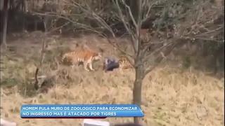 Homem pula muro de zoológico para economizar e é atacado por tigres