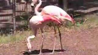 XXX Flamingo's In Heat
