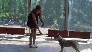 Социализация щенков Хаски/ Выставка Собак на ВДНХ  10.06.2018