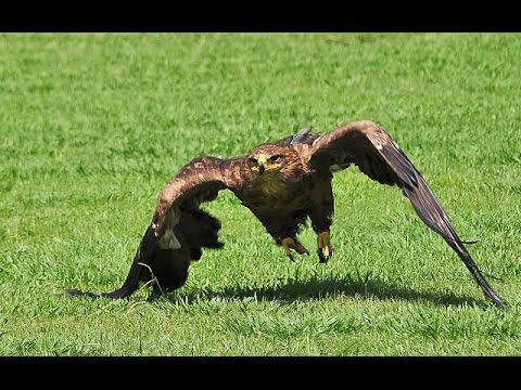 The eastern imperial eagle - Aquila heliaca