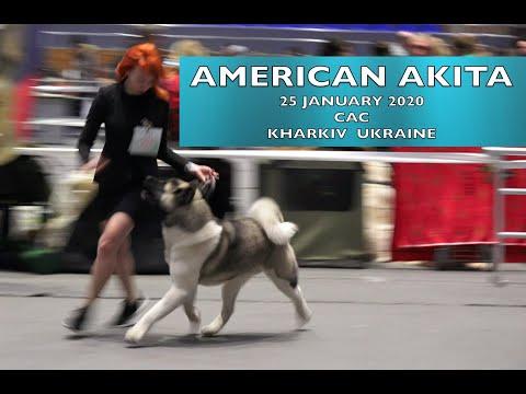 American Akita breed | Dog Show CAC | 25 01 20 Kharkiv Ukraine