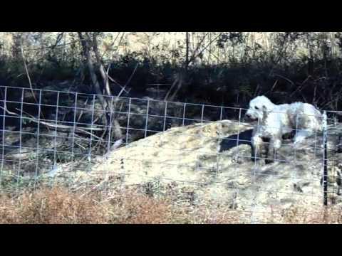 Livestock guardian dog video # 7 Mia guarding her goats.