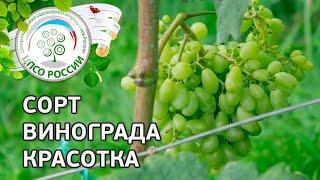 Красотка В Винограднике