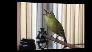 Video Masteran Burung Pleci Isian Kenari, Gereja Tarung, Cililin, Ciblek  Agar Pleci Ngerol dan Nembak download MP3, 3GP, MP4, WEBM, AVI, FLV November 2018