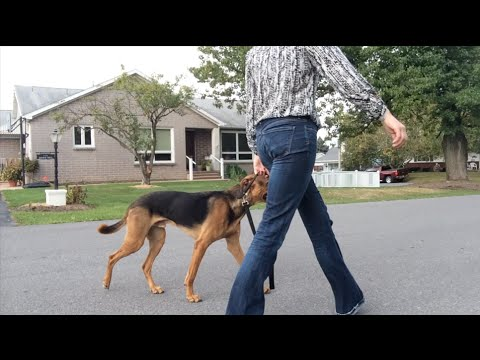 How To Train Your Dog to Walk Politely on a Leash: The Incredible K9