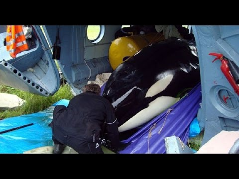 Russia Holding Orca Whales In 'Torture' Conditions