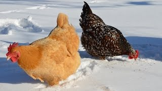 Chickens in the Snow in March in Texas