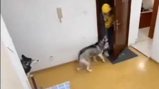 Smart Husky receives delivery food for owner and close door