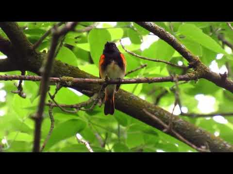American RedStart Song a Beautiful Warbler at Humber Arboretum