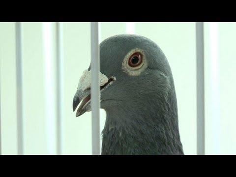 Belgian racing pigeons lure rich Chinese aficionados