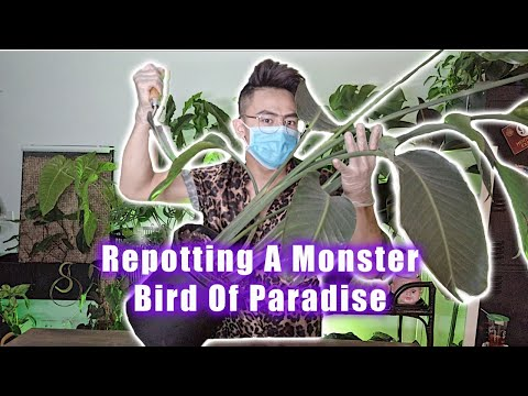 Repotting A Monster Bird Of Paradise With Me | Thirsty Plant Baby