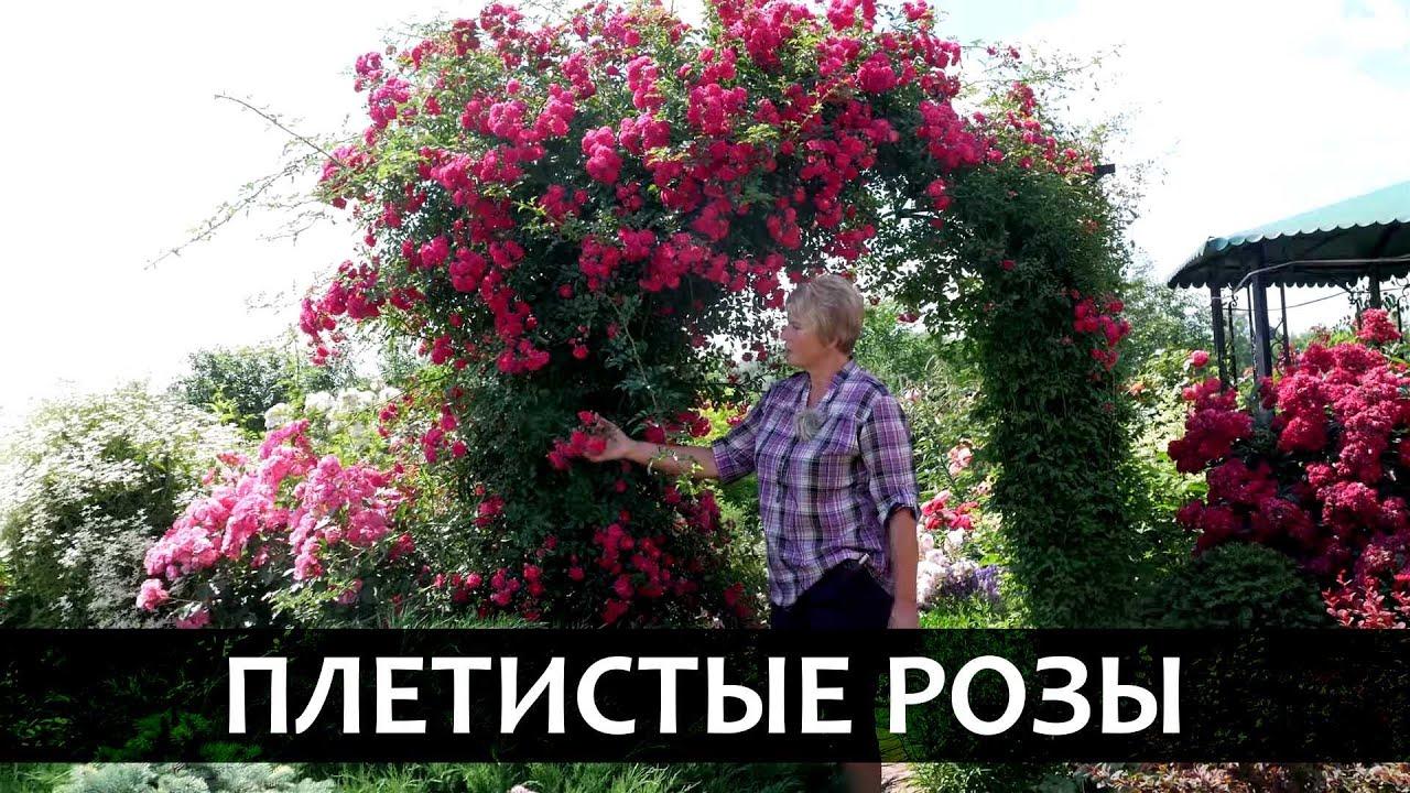 Роза плетистая. Сорта и особенности плетистых роз.