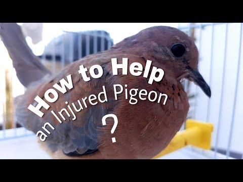 Taking Care of an Injured Pigeon
