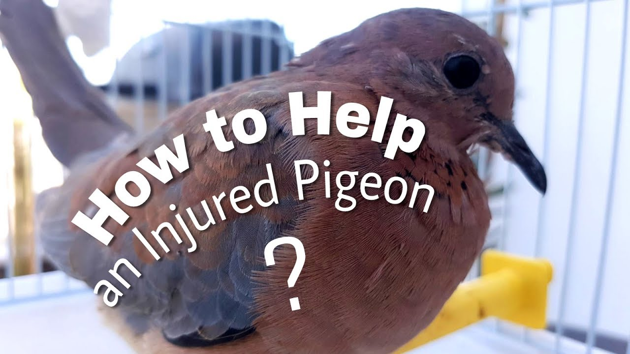 how to catch an injured pigeon