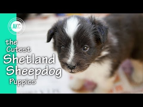 The Cutest Shetland Sheepdog Puppies