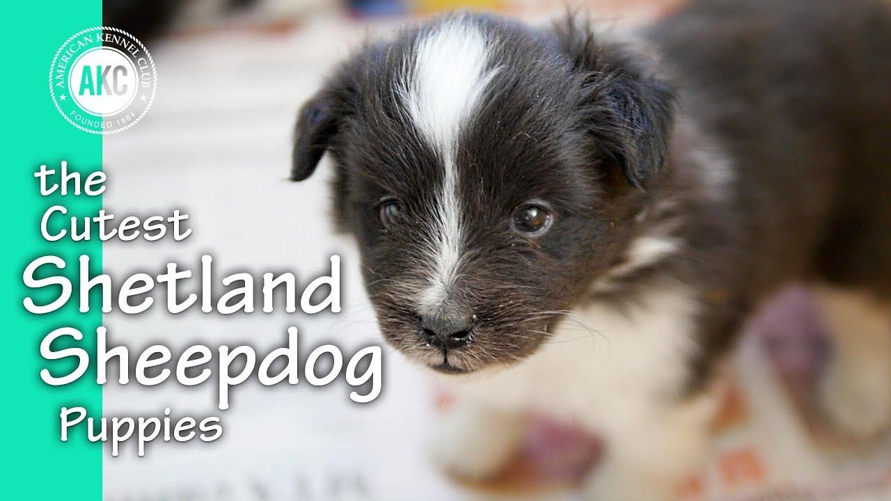 The Cutest Shetland Sheepdog Puppies