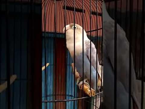 Lovebird   JAHANAM   ngekek 1 menit tanpa jeda  360p