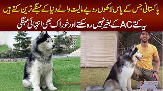 Meet The Cutest and Expensive Siberian Husky Dogs In Lahore – The Champion Of 2019 & 2020 Dog Show