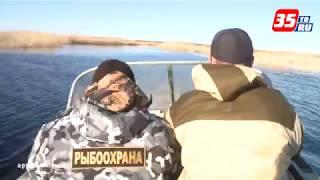 видео: В Вытегре браконьеры выловили 17 особей краснокнижной рыбы