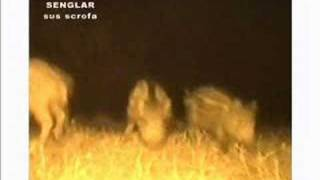 WILD ANIMALS AT NIGHT. First part. Continues in the 2º part