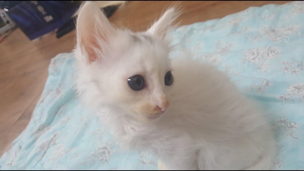 Turkish Angora Cat Kitten Short Hair D 42 Zzzzz Youtube