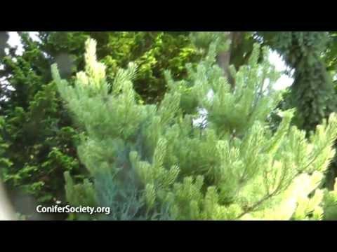 Japanese Red Pine - Pinus Densiflora ' Burke's Red Variegated'  American Conifer Society