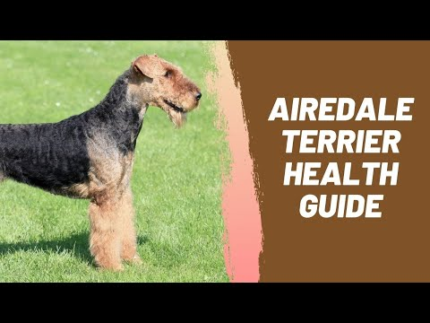 Airedale Terrier Health Guide
