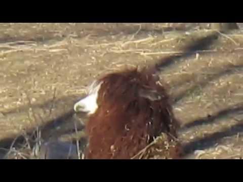 ламы и альпака