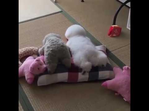 비숑 비숑프리제 ㅡ 강아지영상