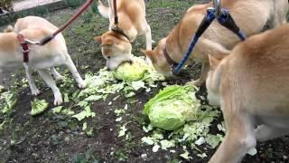 キャベツを美味しそうに食べる山陰柴犬リキファミリー.