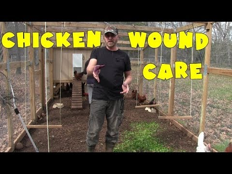 Treating my chickens wounds with blu-kote