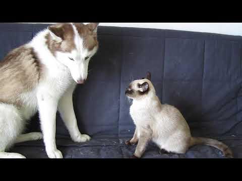 siamese kitten vs. Siberian husky