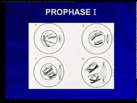 Phases Of Meiosis Prophase 1 Youtube