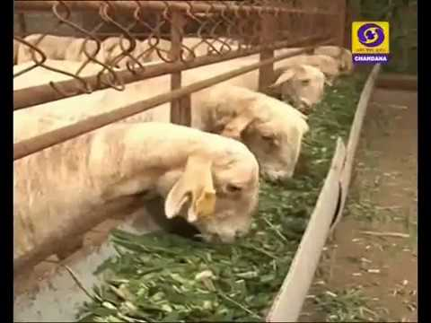 Goat Farming and scientific way of Its Feeding-   ಕುರಿ ಸಾಕಣೆ