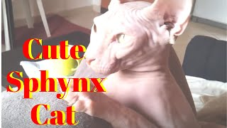 Cute hairless kittens - Enjoy this adorable  hairless kittens