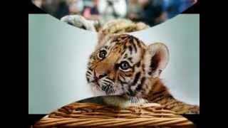 Песня про маленького тигренка