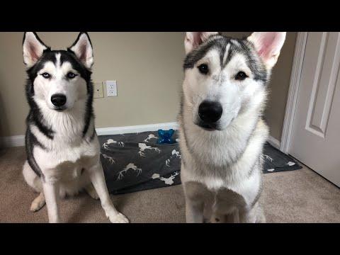 Husky Pups Live!!