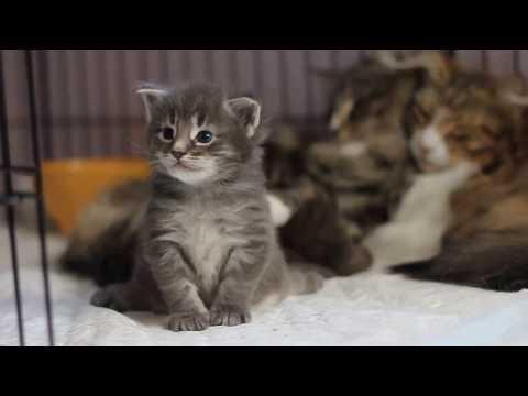Baby Connor- Sweetest Norwegian Forest cat Kitten ever